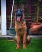 German Shepherd Dog Puppy For Sale in Aytos, Burgas, Bulgaria