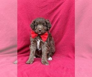 Australian Shepherd-Poodle (Miniature) Mix Puppy for sale in NOTTINGHAM, PA, USA