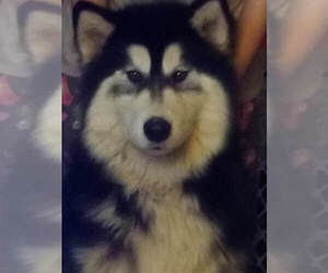 Father of the Siberian Husky puppies born on 02/10/2021