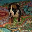Boxer Puppy For Sale in PELZER, SC, USA