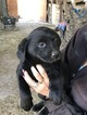 Labrador Retriever Puppy For Sale in BANDERA, TX, USA