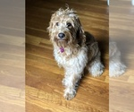 Small Photo #1 Labradoodle-Poodle (Miniature) Mix Puppy For Sale in GREENSBORO-HIGH POINT-WINSTO, NC, USA