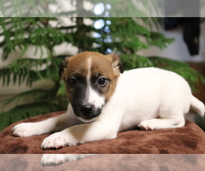 Jack Russell Terrier Puppy for sale in SHILOH, OH, USA