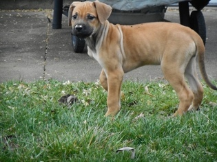 View Ad Cane Corso Rhodesian Ridgeback Mix Litter Of Puppies For