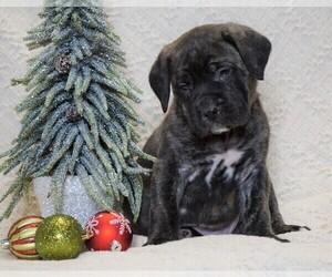 Mastiff Puppy for sale in FREDERICKSBG, OH, USA