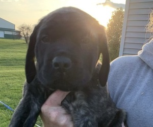 Mastiff Puppy for sale in SHELBYVILLE, IN, USA