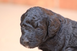 Aussiedoodle-Poodle (Standard) Mix Puppy for sale in GREENSBORO, NC, USA