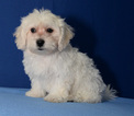 Maltipoo Puppy For Sale in DONNA, TX, USA