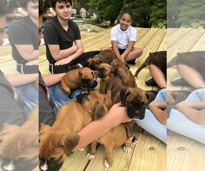 Boxer Puppy for sale in WESTPORT, MA, USA