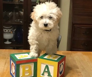 Poodle (Miniature) Puppy for sale in VIRGINIA BCH, VA, USA