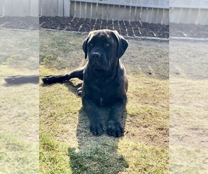 Cane Corso Puppy for Sale in BAKERSFIELD, California USA