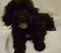 Poodle (Miniature) Puppy For Sale in NEOSHO, MO, USA