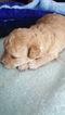 Gorgoeus Toy Poodle Puppy