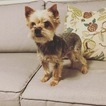 Yorkshire Terrier Puppy For Sale in MOUNT AIRY, MD, USA