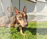 Small #691 Bull Terrier Mix