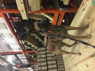 Belgian Malinois Puppy For Sale in BURLINGTON, CT, USA
