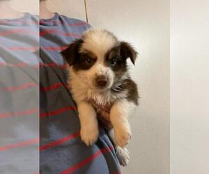 Australian Shepherd Puppy for Sale in SPENCER, Tennessee USA