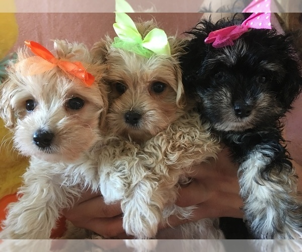 View Ad: Maltese-Poodle (Toy) Mix Litter of Puppies for ...