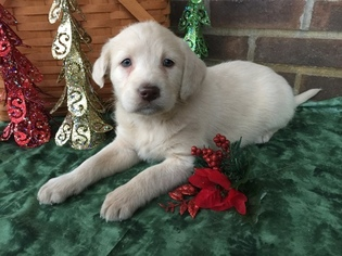 Labrador Retriever Puppy For Sale in LEO, IN