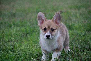 Pembroke Welsh Corgi Puppy For Sale in MAGNOLIA, TX, USA