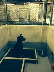 Kingston - Shar Pei / Shepherd / Mixed Dog For Adoption