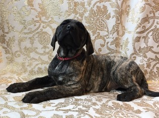 Mastiff Puppy For Sale in WALHONDING, OH, USA