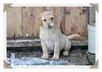 Labrador Retriever Puppy For Sale in WEST BROOKFIELD, MA, USA