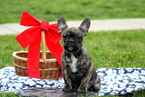 French Bulldog Puppy For Sale in FERTILITY, PA, USA