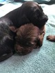 Spangold puppies