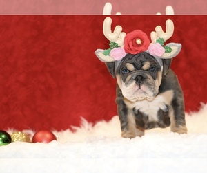 English Bulldog Puppy for Sale in PALMDALE, California USA