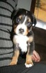 Family raised AKC Greater Swiss Mountain Dog