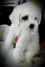 Maltipoo Puppy For Sale in BIG BEAR LAKE, CA, USA