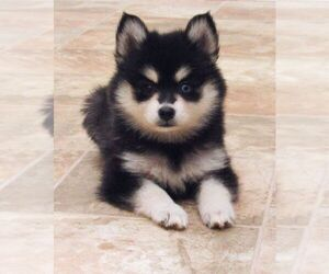 Pomsky Puppy for sale in SEBRING, FL, USA