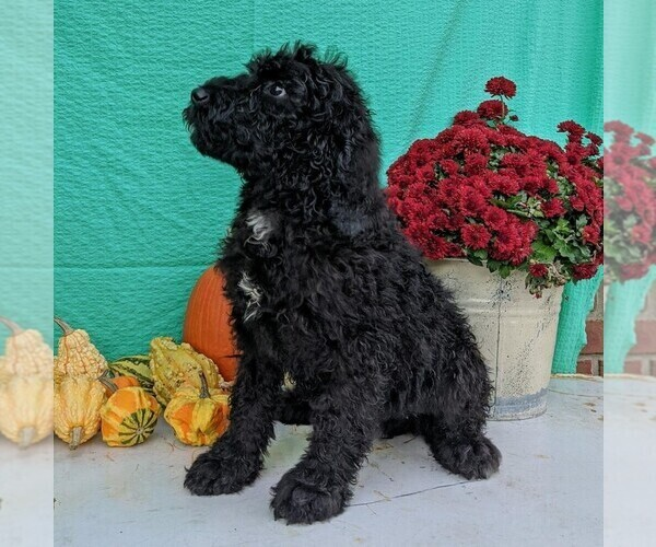 Medium Photo #4 Miniature Bernedoodle Puppy For Sale in FREDERICKSBG, OH, USA