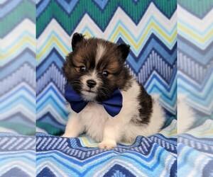 Pomeranian Dog for Adoption in PEACH BOTTOM, Pennsylvania USA