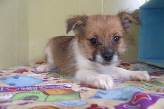 Yoranian Puppy For Sale in PATERSON, NJ