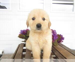 Golden Retriever Puppy for sale in ALPHA, MI, USA