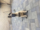 Belgian Malinois Puppy For Sale in ONTARIO, CA, USA
