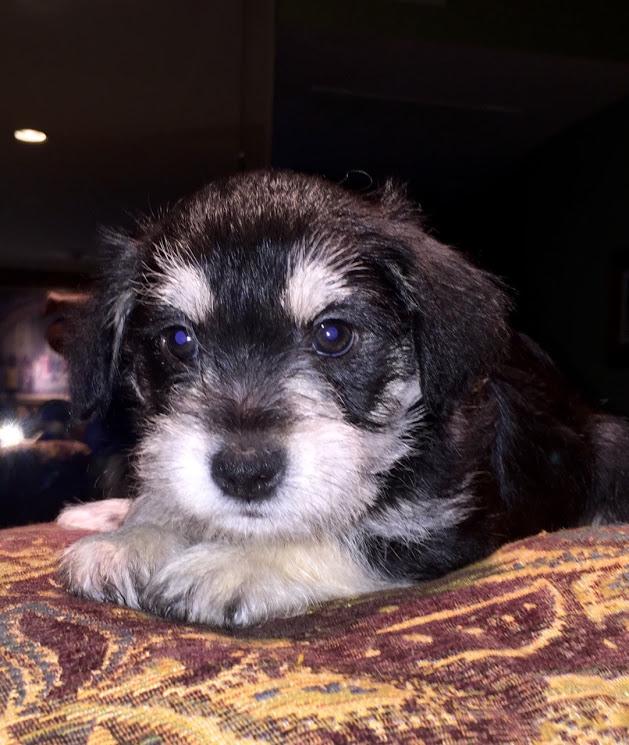 View Ad Schnauzer Miniature Puppy For Sale Texas Dallas