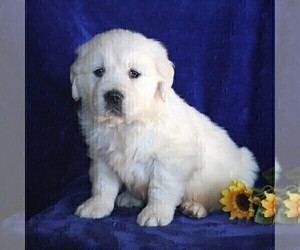 English Cream Golden Retriever Puppy for sale in MYERSTOWN, PA, USA