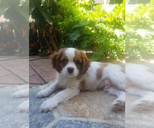 Cavalier King Charles Spaniel Puppy for Sale in SAN DIEGO, California USA
