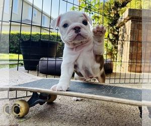 English Bulldog Puppy for sale in TEMECULA, CA, USA