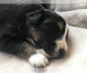 Australian Shepherd Puppy for sale in SPRINGDALE, WA, USA