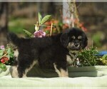 Puppy 8 Tibetan Mastiff