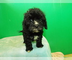 Puppy 5 Cavalier King Charles Spaniel-Poodle (Standard) Mix