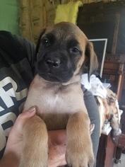 Mastiff Puppy For Sale in CLINTON, MO, USA