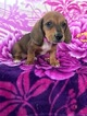 Dachshund Puppy For Sale in LANCASTER, Pennsylvania,