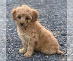 Small #1 Goldendoodle-Poodle (Miniature) Mix