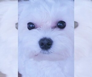 Mother of the Maltese puppies born on 04/08/2021