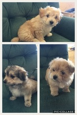 Morkie Puppy For Sale in MCGREGOR, MN, USA